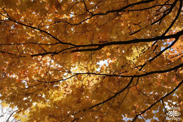 Golden Fall Foliage (Pruning 101)