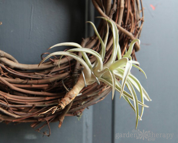How to Attach an Air Plant to a Wreath
