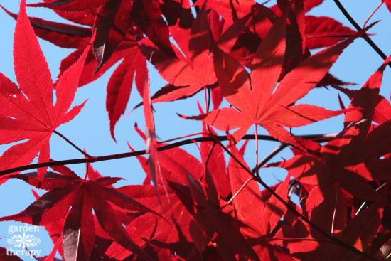 When to prune: Japanese maple bloodgood