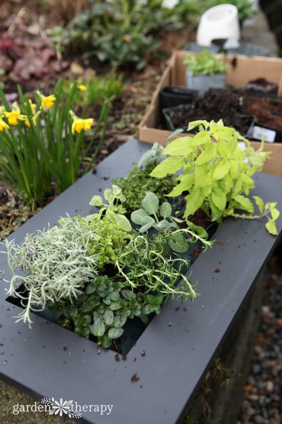 Planting herbs in a vertical garden