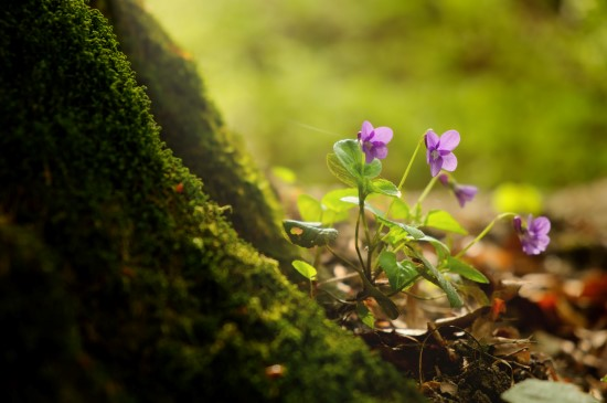 wild violets for foraging and cooking with