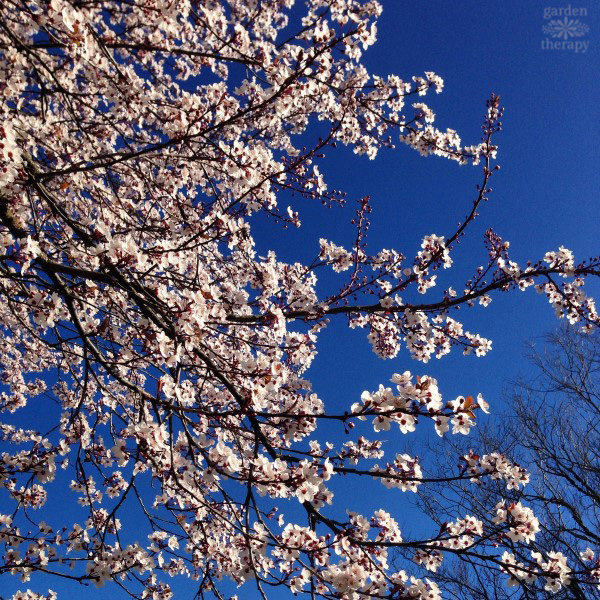 Cherry Blossoms in Vancouver Blue Sky