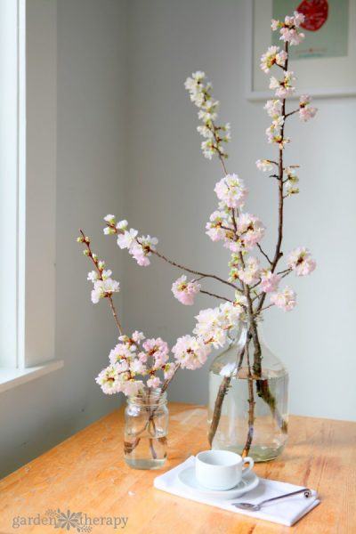 Cherry Blossoms in glass vases on a wood table with coffee