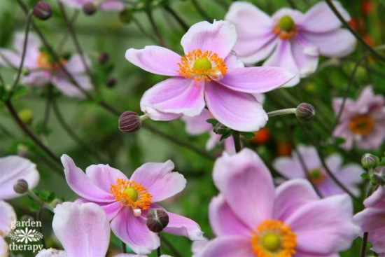 Japanese Anemone Windflowers