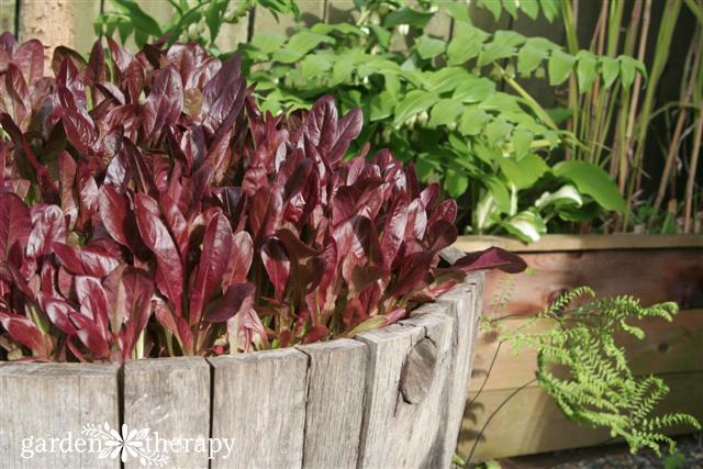 Lettuce in Wine Barrel