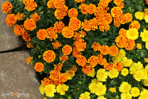 Marigolds planted for pest control