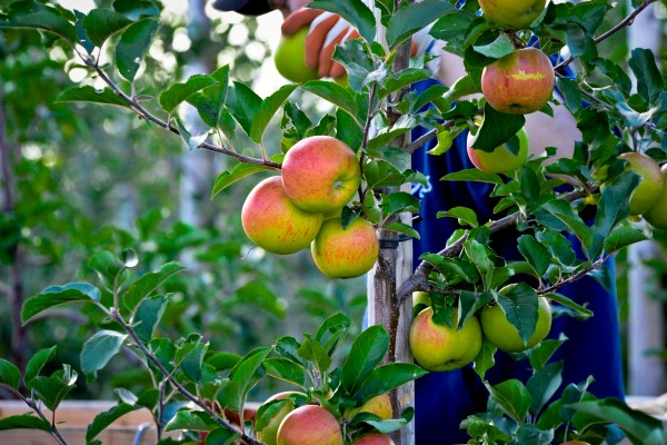Espalier apples
