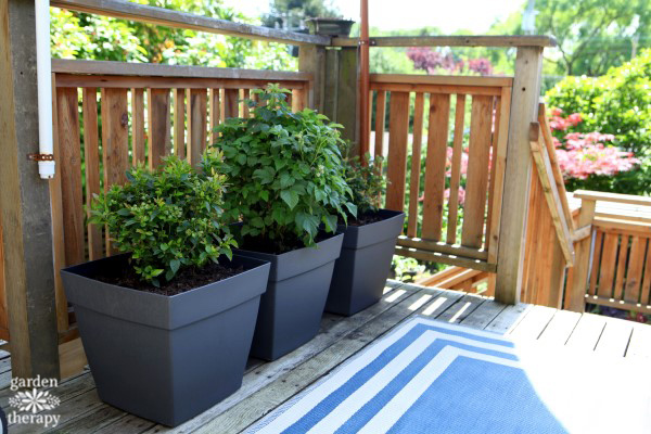 Brazelberries in self watering containers