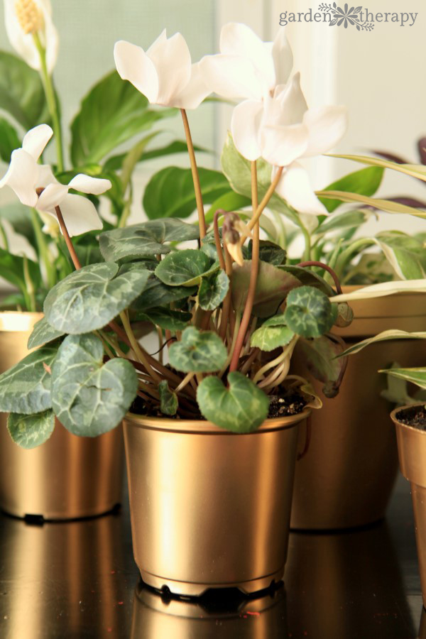 Cyclamen and other indoor plants in DIY gold painted pots