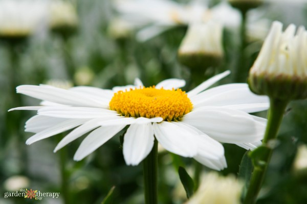 shasta daisy in bloom