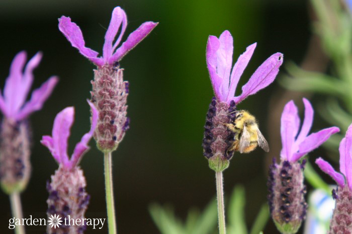 bee on spanish lavender