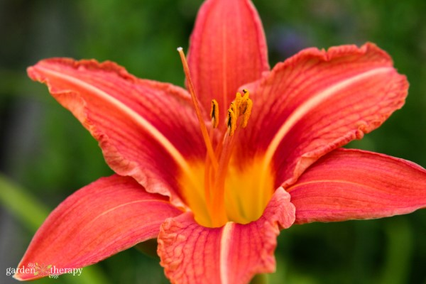 daylily for sunny gardens