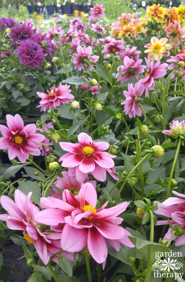 Dahlias at Garden Center