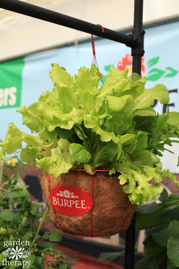 Hanging basket with lettuce