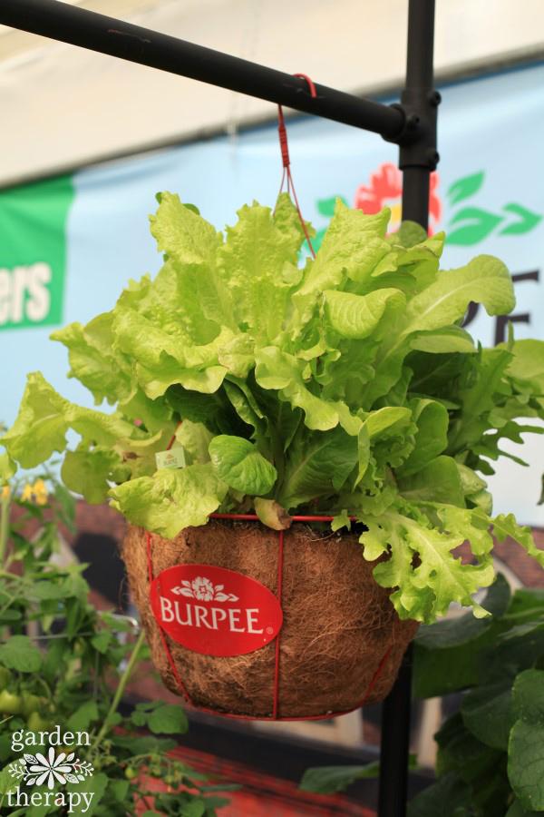 Hanging basket with lettuce