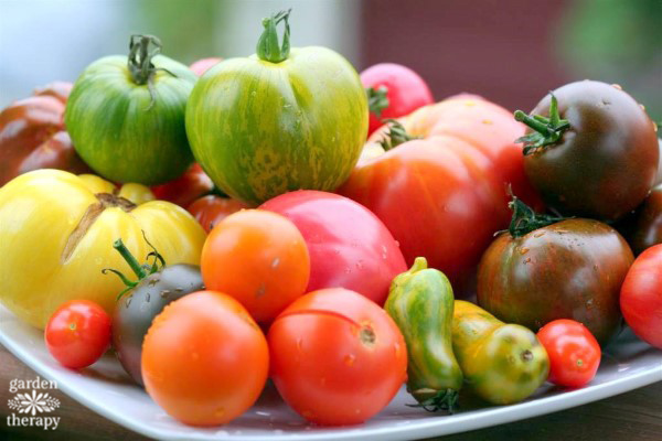 Heirloom Tomatoes in different colors and sizes