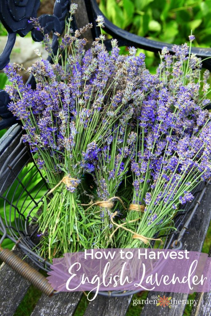How To Harvest Lavender Plants For Recipes And Crafts Garden Therapy