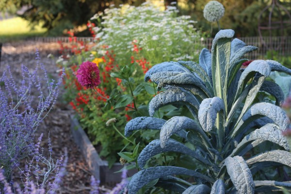 Lacinato Kale In Garden Adds Color And Interest