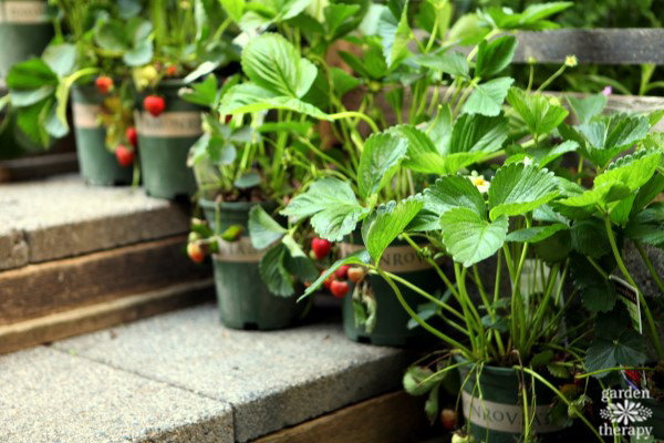 Monrovia Strawberry Plants