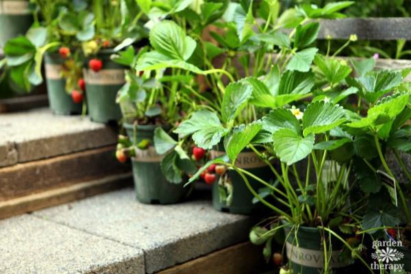 Monrovia Strawberry Plants