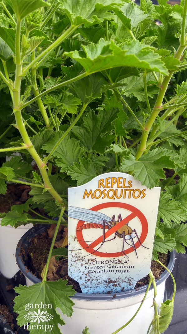 Mosquito Plan, one of the best mosquito repellent plants
