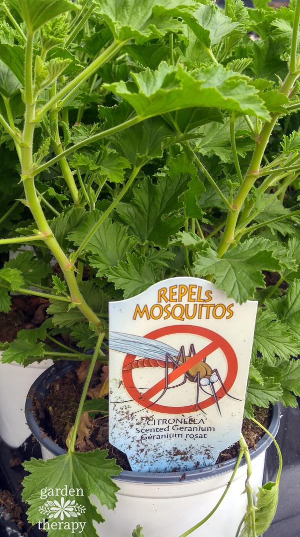 Mosquito Plant - Citronella Scented Geranium