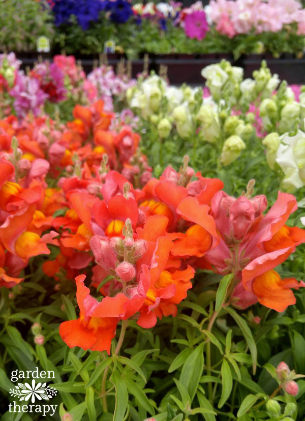 Snapdragons at Garden Center
