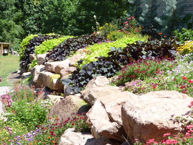 Sweet Potato Vine planted in a rock wall garden