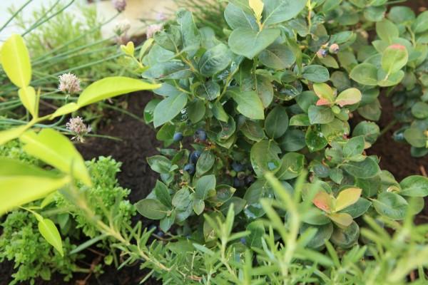 Brazelberries Peach Sorbet Blueberry