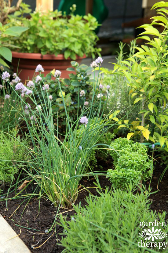Chives and lavender