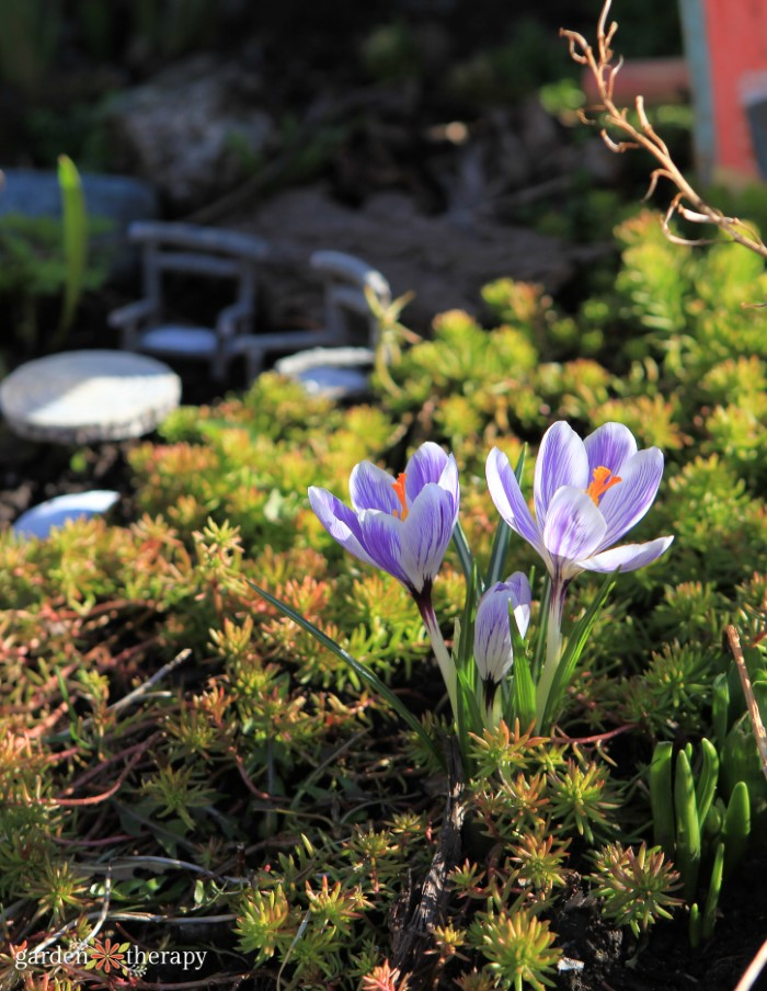 Crocus Blooming in Sedum