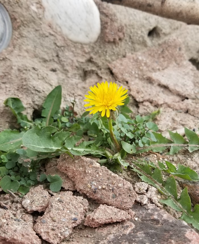 Dandelion Growing in Rocks
