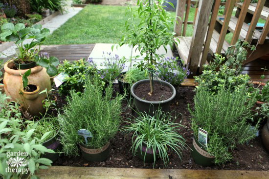 Herb Garden Renovation Plan - setting plants in place
