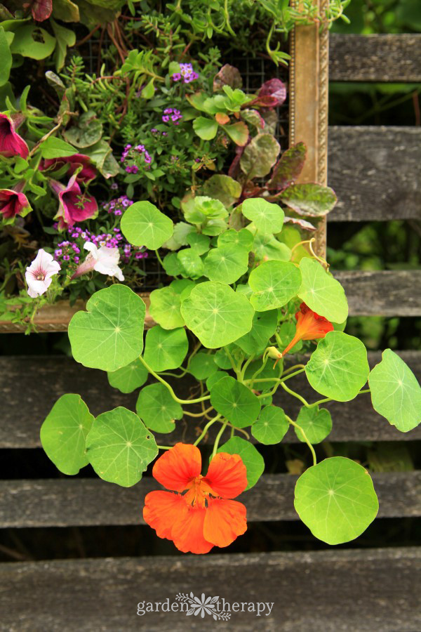Nasturtium in a vertical planter