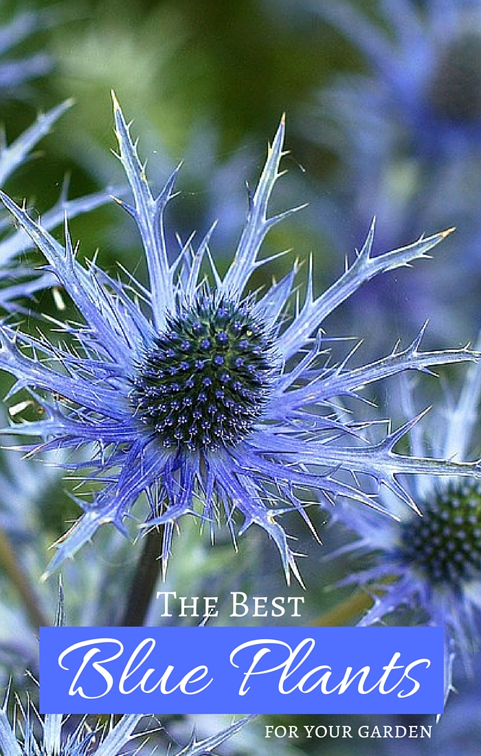 The Best Blue Plants for Your Garden