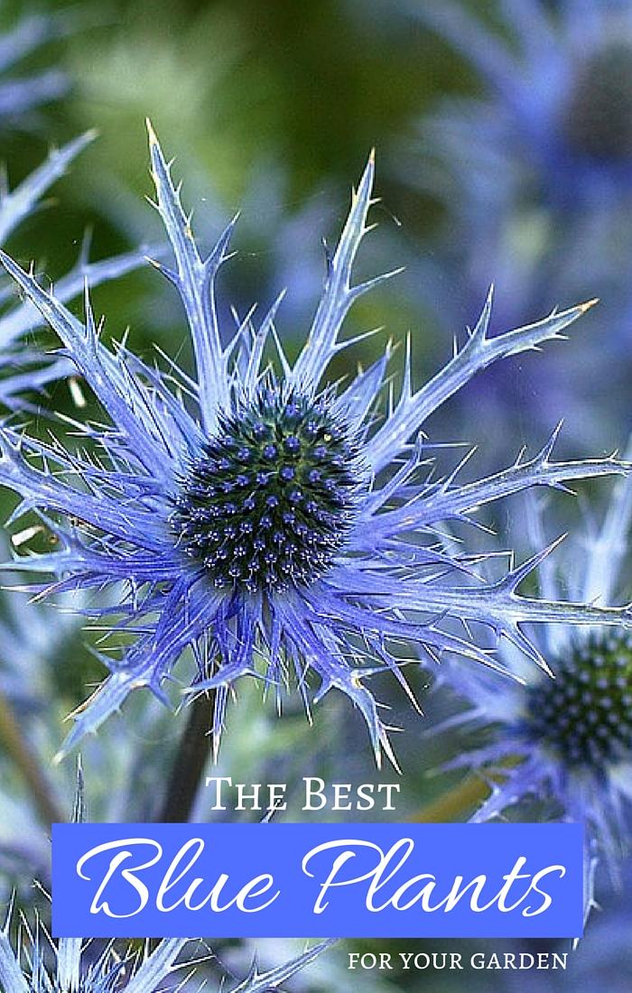 Grow True Blue Garden Plants With Blue Flowers Foliage