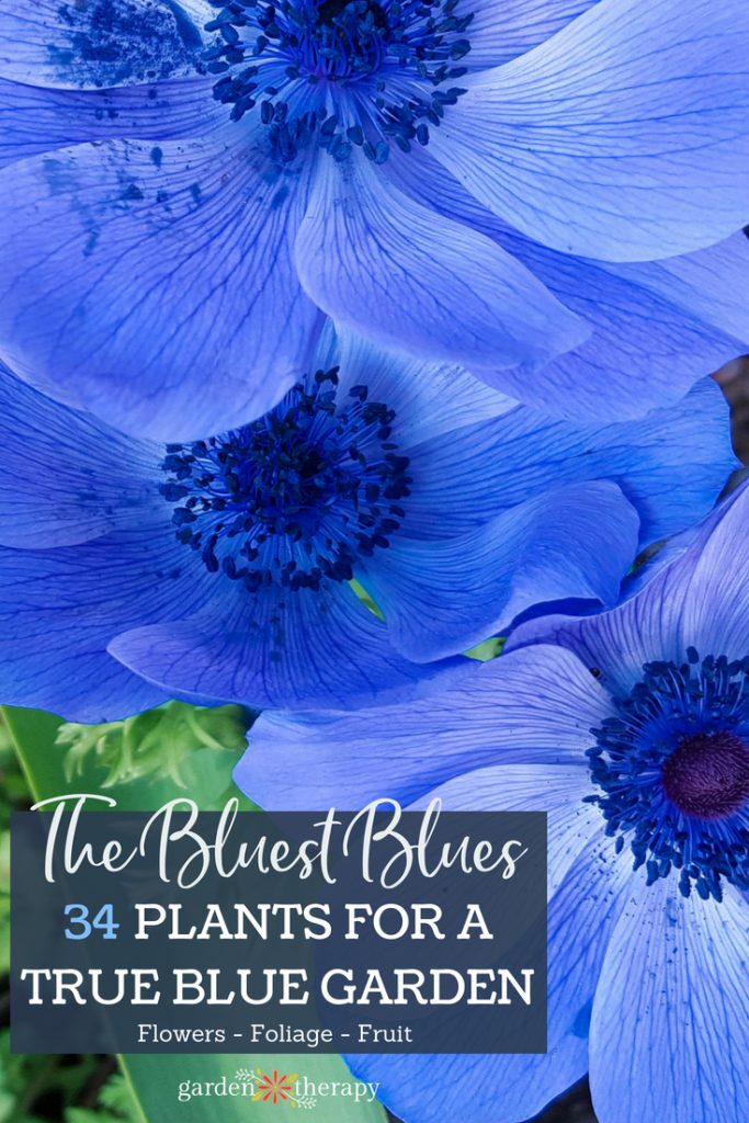 the bluest blue garden plants