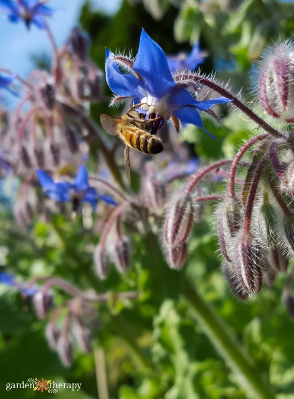 borage with bee pollinating