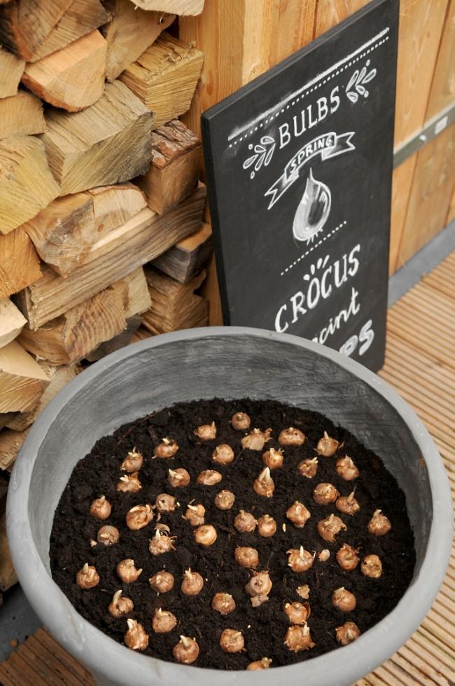 Crocus Bulbs in a Pot