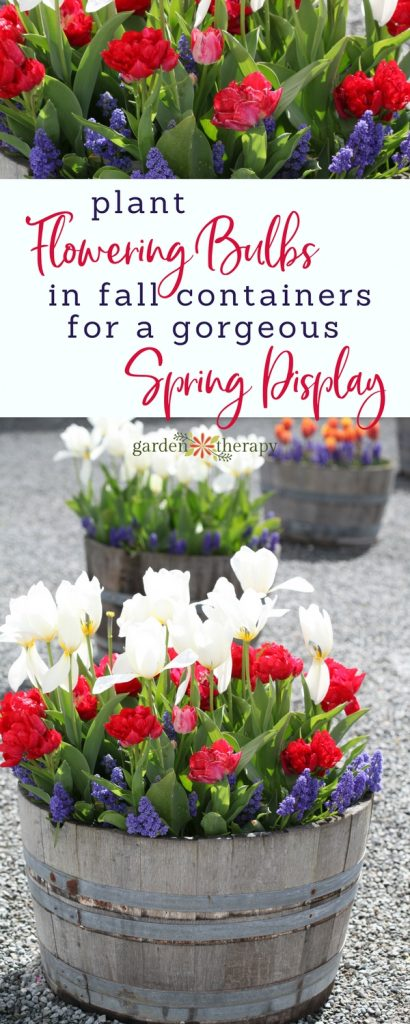 Fall Bulb Container Gardens in Wine Barrels with tulips and grape hyacinths