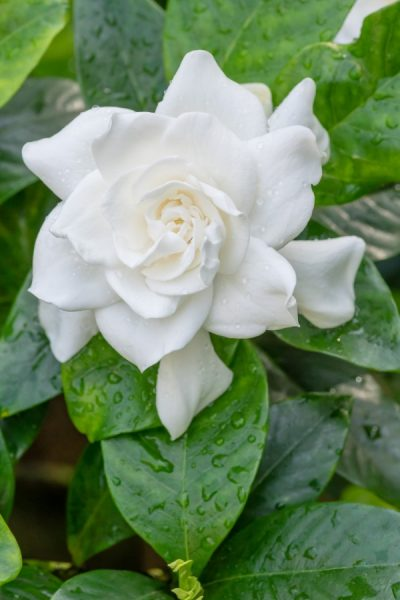 Fragrant Flowers List Gardenia
