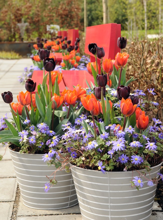 Combining Flower Bulbs in Container Gardens