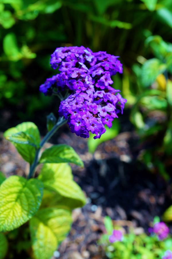 Fragrant Flowers List heliotrope