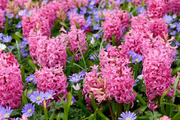 fall bulbs: hyacinth