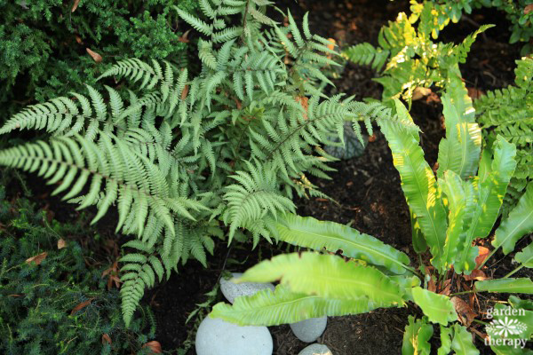 Japanese Painted Fern and Hart's-Tongue Fern