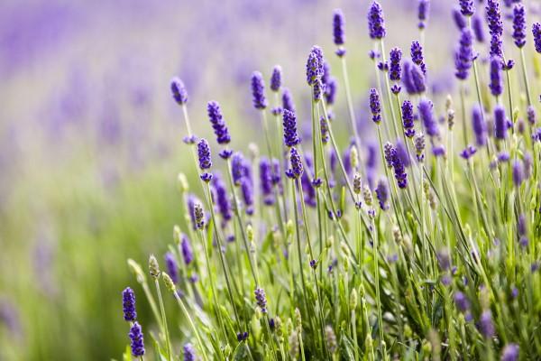 Fragrant Flowers List Lavender