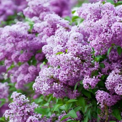 Grow These 10 Fragrant Flowers For a Heavenly Smelling Garden