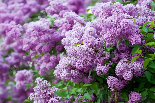 Fragrant Flowers List Lilac