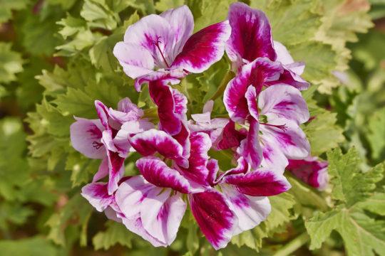 Fragrant Flowers List Scented Geranium