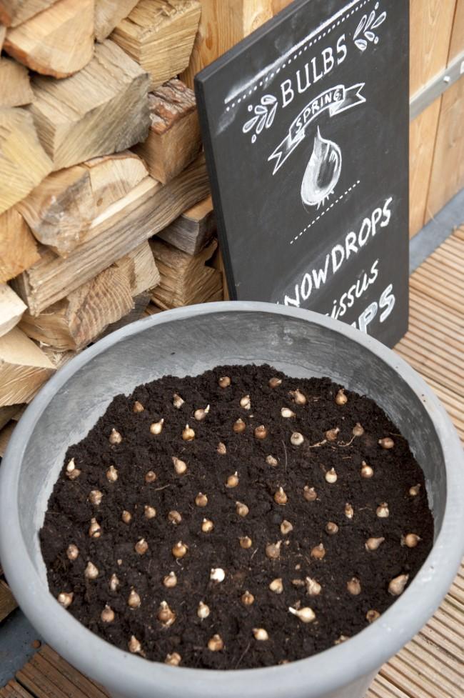 Snowdrop Bulbs in a Pot